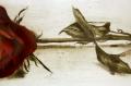 Rose / Radierung 1577