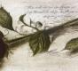 Rose / Radierung 1617