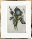 Iris / Radierung im Modellrahmen / Weißgold 913