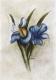 Iris-Radierung 856