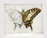 Radierung Schmetterling 1615