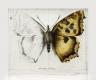 Radierung Schmetterling 1616