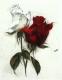 Rose - Radierung 1633