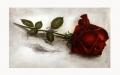 """Radierung - Rose """"Nur für Dich"""" 1360"""